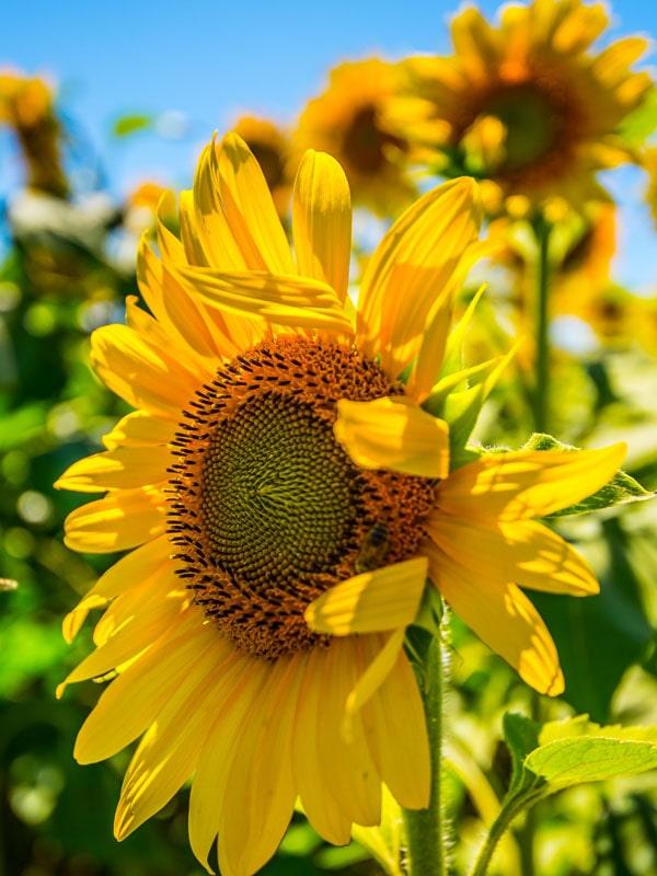 plakat słonecznik